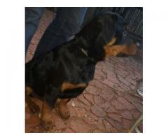 Beautiful Rottweiler puppies for sale, big bu...