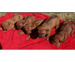 Rhodesian ridgeback puppies, there is males a...