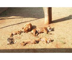 Staffordshire Bull Terrier Puppies for sale. ...