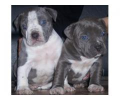 American Pit bull Puppies for sale in Gauteng