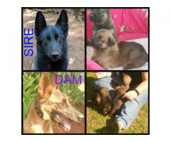 German shepherd sable puppies for sale, only ...