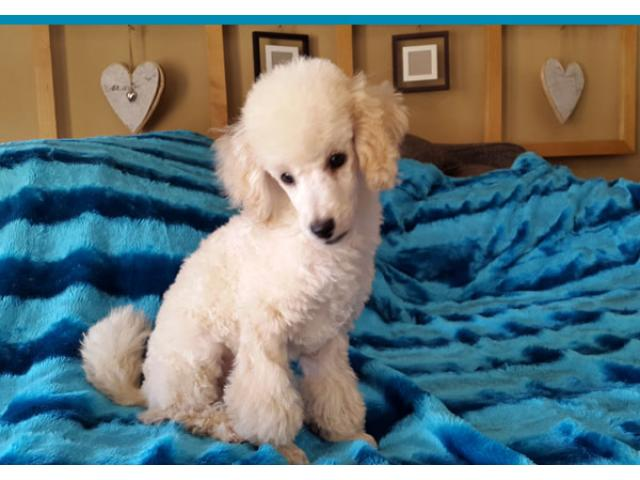 Miniature French Poodle Puppy For