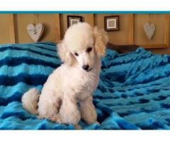 Miniature French Poodle for sale, we have 1 c...