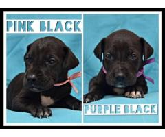 Great Dane puppies for sale (Pure Bred)