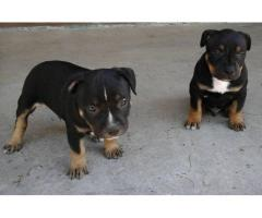 Staffordshire Terrier puppies for sale in Eas...