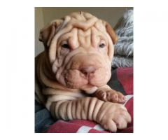 Pedigree pure bred Sharpei puppies for sale w...
