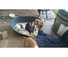Beautiful healthy Pitbull pups for sale. We a...