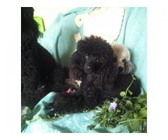 TOY POODLES FOR SALE - KUSA registered, micro...