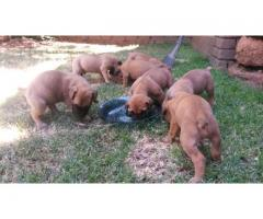 Boerboel puppies for sale: Looking for a lovi...