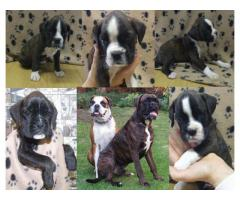 Beautiful Boxer Puppies!! Playful loving pupp...