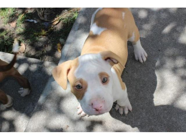 American Red Nose Pitbull puppies for sale - PUPPIES FOR SALE