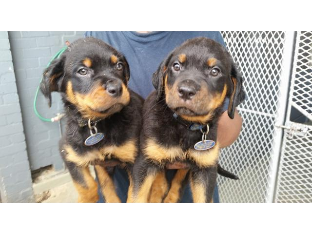 Rottweiler Puppys In South Africa: English Bulldog Puppies For Sale