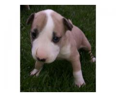Bull terrier puppies for sale