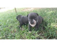 1 Male pup left, black and white. Born 6 Marc...