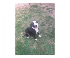 Pitbull Puppies for sale - Registered and Ino...