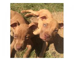 Rednose Pitbull puppies for sale in Kempton p...