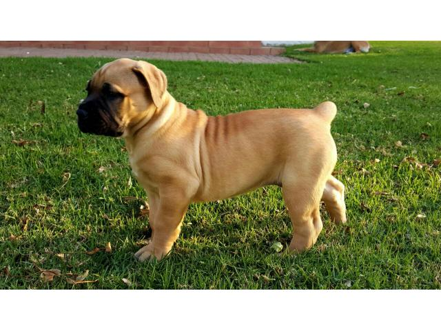 Boerboel Puppies For Sale Eden Garden Route Puppies For Sale