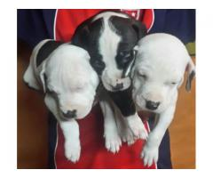 Pitbull purebred puppies are carver and rocky...