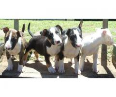 KUSA Registered Bull Terrier Puppies for sale...
