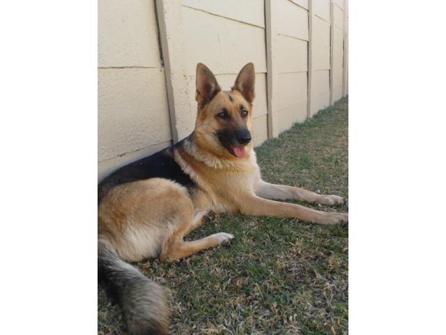 German Shepherd dogs for sale in gauteng Johannesburg - PUPPIES FOR SALE