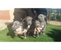 Blue pitbull puppies for sale in Durban (registered)