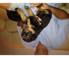 4 x Female Purebred Rottweiler Puppies for sa...