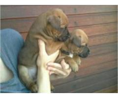 Pure bred staffie puppies available. Parents ...