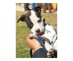Amazing American Staffordshire terrier puppie...