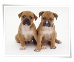 Purebred adorable 8 week old Staffies puppies...