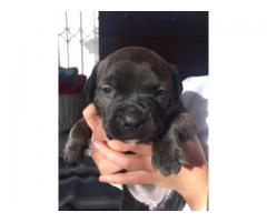 Staffordshire Bull Terrier for pups for sale,...
