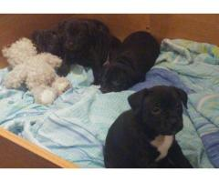 8 Staffie Puppies for sale (black). Both Pare...