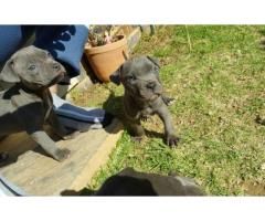 American pitbull terrier puppies for sale x 8