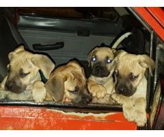 Boerboel puppies for sale. 9 weeks old. Vacci...