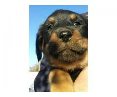 Rottweiler puppies for sale (×4), 8 weeks old...