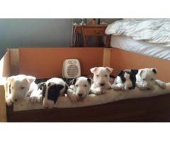 Bull Terrier puppies for sale (KUSA registere...