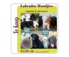 Labrador Puppies for Sale, inoculated and dew...