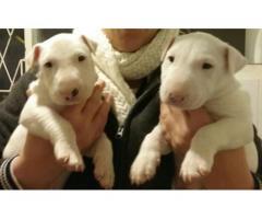 Highly pedigreed KUSA Registered Bull Terrier...