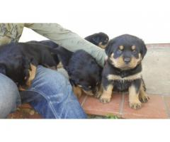 Stunning pure breed Rottweiler puppies for sa...