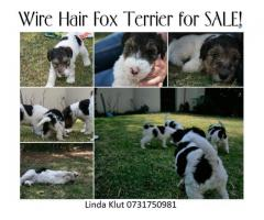Wire Hair Fox Terrier Puppies for sale they a...