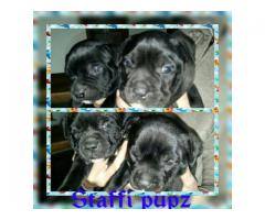 Black staffie puppies for sale, out of a litt...