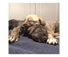KUSA Registered Irish Wolfhound Puppies for s...