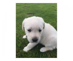 Labrador Canine Puppies for sale, we have 5x ...