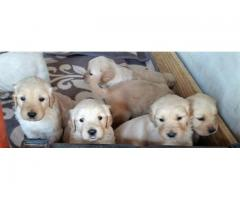 Adorable Golden Retriever puppies for sale. B...