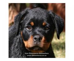 Rottweiler puppies for sale (KUSA registered)...