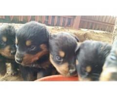 Rottweiler puppies for sale. We have 2x Femal...