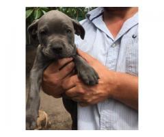 Blue American Pitbull puppies for sale - Prestige Pitbulls