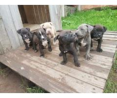 We have lovely pitbull puppies for sale. With...