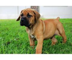 SABBS Reg No 0656375 Beautiful puppies availa...
