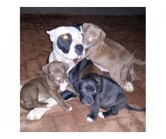 Beautiful Pure breed American Pit bull Terrie...