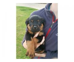 KUSA Registered Rottweiler Puppies, Cape Town